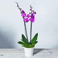 Twin Stem Phalaenopsis Orchid