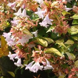 Abelia X Grandiflora Francis Mason Large Plant Thompson