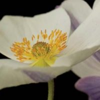 Anemone 'Wild Swan'