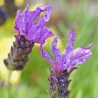 Lavender 'Bluestar'