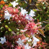 Abelia x grandiflora (Large Plant) - 2 abelia plants in 3.5 litre pots by Van Meuwen