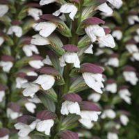 Acanthus spinosus (Large Plant) - 2 acanthus plants in 1 litre pots by Van Meuwen