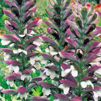 Acanthus mollis - 12 acanthus plug plants by Van Meuwen
