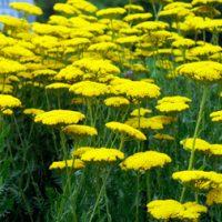 Achillea filipendulina 'Coronation Gold' (Large Plant) - 2 achillea plants in 1 litre pots by Van Meuwen