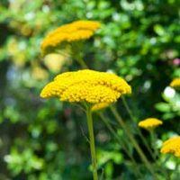 Achillea filipendulina 'Cloth of Gold' (Large Plant) - 2 achillea plants in 1 litre pots by Van Meuwen