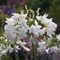 Agapanthus 'Arctic Star' (Large Plant) - 2 x 3 litre potted agapanthus plants by Thompson & Morgan