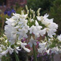 Agapanthus 'Arctic Star' (Large Plant) - 1 agapanthus plant in 3 litre pot by Van Meuwen