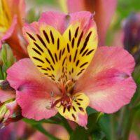 Alstroemeria 'Cahors' - 1 bare root alstroemeria plant by Van Meuwen