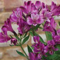 Alstroemeria 'Butterfly Hybrids' - 6 alstroemeria plug plants by Van Meuwen