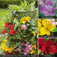 Alstroemeria 'Climber Collection' - 6 alstroemeria plug plants - 2 of each colour by Van Meuwen