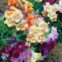 Antirrhinum 'Farfalline' - 48 antirrhinum plug tray plants by Van Meuwen
