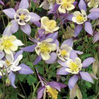 Aquilegia caerulea 'Mrs Scott-Elliott' - 12 aquilegia plug tray plants by Van Meuwen