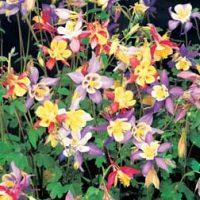 Aquilegia caerulea 'Mrs Scott-Elliott' (Large Plant) - 2 aquilegia plants in 1 litre pots by Van Meuwen