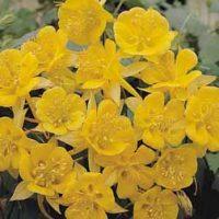 Aquilegia chrysantha 'Yellow Star' (Large Plant) - 2 aquilegia plants in 1 litre pots by Van Meuwen