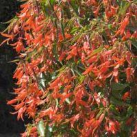 Begonia 'Inferno' - 20 begonia plug plants by Van Meuwen