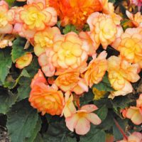 Begonia 'Apricot Shades' Pre-planted Pot - 2 pre-planted begonia patio pots by Van Meuwen
