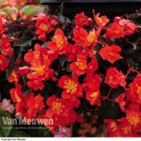 Begonia 'Flamenco' - 5 begonia jumbo plug plants by Van Meuwen