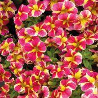 Calibrachoa 'Candy Bouquet' - 20 petunia plug plants by Van Meuwen