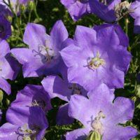 Campanula carpatica 'Blaue Clips' (Large Plant) - 1 campanula plant in 1 litre pot