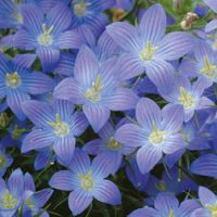 Campanula 'Dwarf Blue' (Garden Ready) - 12 campanula garden ready plug plants by Van Meuwen