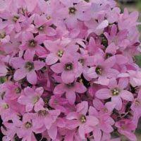 Campanula lactiflora 'Dwarf Pink' (Large Plant) - 2 campanula plants in 1 litre pots by Van Meuwen