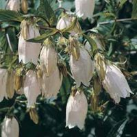 Campanula takesimana (Large Plant) - 2 campanula plants in 1 litre pots by Van Meuwen