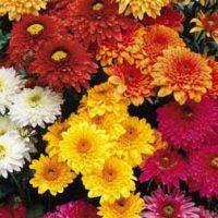 Chrysanthemum 'Double American Spray' - 5 chrysanthemum plug plants by Van Meuwen