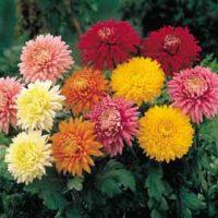 Chrysanthemum 'Decorative' - 5 chrysanthemum plug plants by Van Meuwen