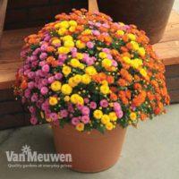 Chrysanthemum 'Hardy Patio Improved' - 10 chrysanthemum plug plants by Van Meuwen