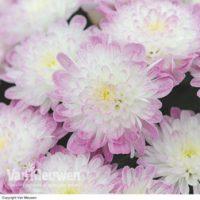 Chrysanthemum 'Improved Appleblossom' - 5 chrysanthemum plug plants by Van Meuwen