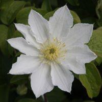 Clematis 'Apollonia' (Large Plant) - 1 clematis plant in 3 litre pot by Van Meuwen