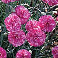 Dianthus 'Cosmic Swirl Pink' - 5 dianthus plug plants by Van Meuwen