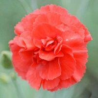 Dianthus 'Diane' - 5 dianthus plug plants by Van Meuwen