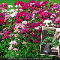 Dianthus 'Diamond Mixed' (Garden Ready) - 30 dianthus garden-ready plug plants by Van Meuwen