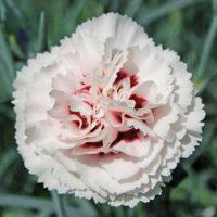 Dianthus 'Cranmere Pool' - 5 dianthus plug plants by Van Meuwen