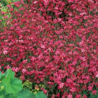 Dianthus 'Deltoides Red' (Garden Ready) - 6 dianthus garden ready plug plants by Van Meuwen