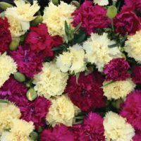 Dianthus 'Bananaberry Fizz' (Garden ready) - 12 dianthus garden-ready plug plants by Van Meuwen