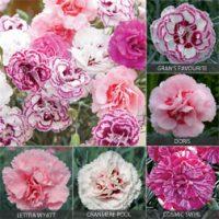 Dianthus 'Cottage Garden Collection' - 10 dianthus plug plants - 2 of each variety by Van Meuwen