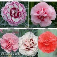 Dianthus 'Cottage Garden Collection' - 20 dianthus plug plants - 4 of each variety by Van Meuwen