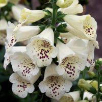 Foxglove 'Camelot Cream' (Large Plant) - 2 foxglove plants in 2 litre pots by Van Meuwen