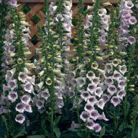 Foxglove 'Camelot Lavender' (Large Plant) - 2 foxglove plants in 2 litre pots by Van Meuwen