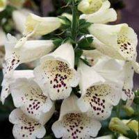 Foxglove 'Camelot Cream' (Large Plant) - 2 digitalis plants in 1 litre pots by Van Meuwen