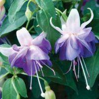 Fuchsia 'Azure Like It' - 5 fuchsia Postiplug plants