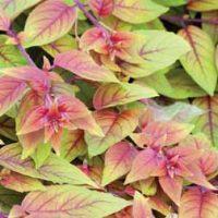 Fuchsia 'Autumnale' - 5 fuchsia plug plants