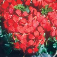 Geranium 'Balcon Red' - 10 geranium plug plants by Van Meuwen
