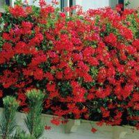 Geranium 'Balcon Red' - 15 geranium plug plants by Van Meuwen