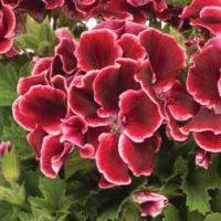 Geranium 'Aristo Red Beauty' - 5 geranium plug plants by Van Meuwen