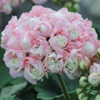 Geranium 'Appleblossom' - 6 geranium plug plants by Van Meuwen