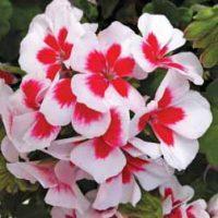 Geranium 'Americana White Splash' - 10 geranium plug plants by Van Meuwen
