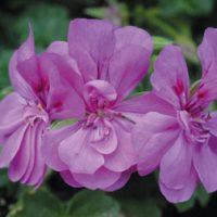 Geranium 'Amelit' - 5 geranium plug plants by Van Meuwen